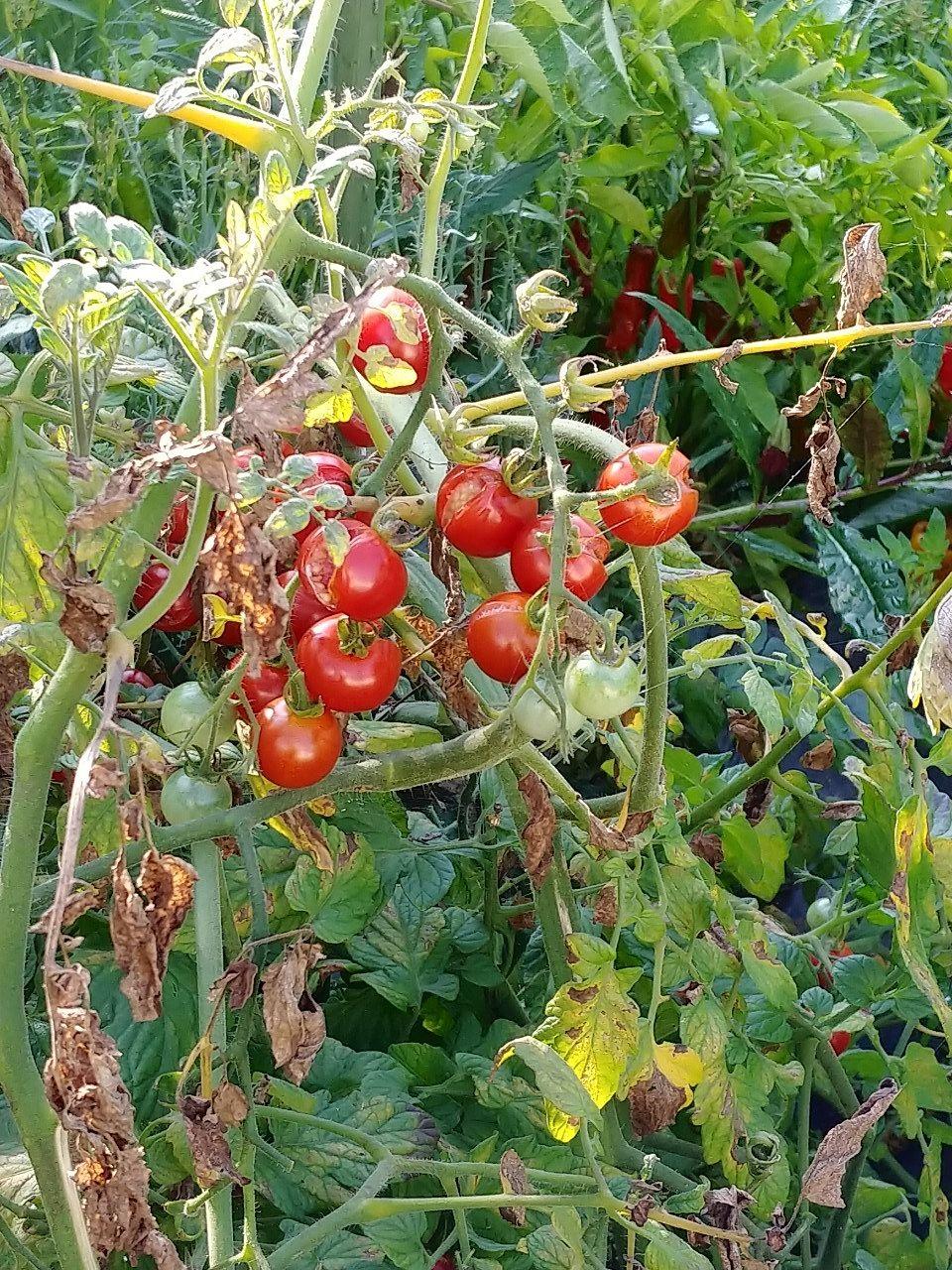 くだびれたトマトです