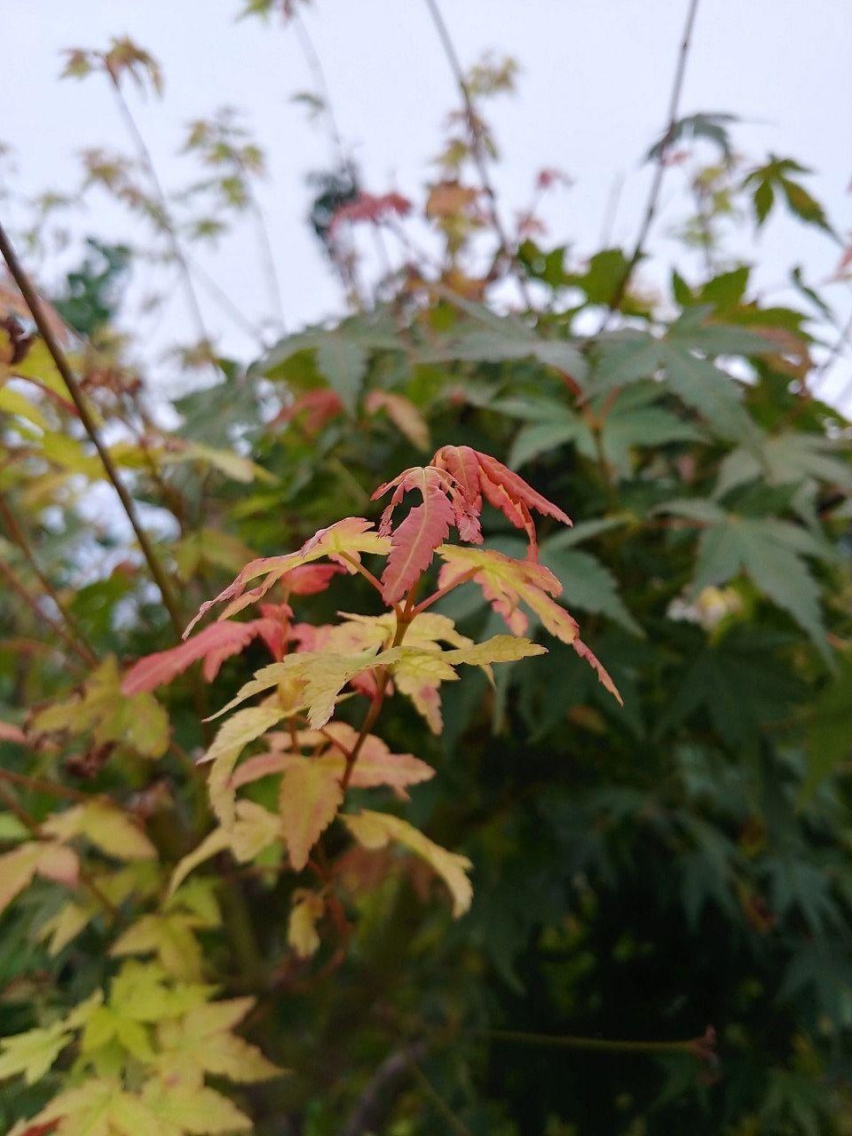 庭の紅葉です
