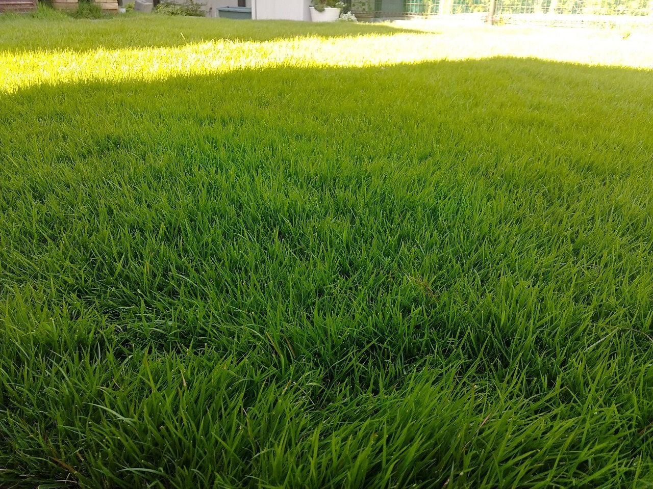 庭にはった芝生