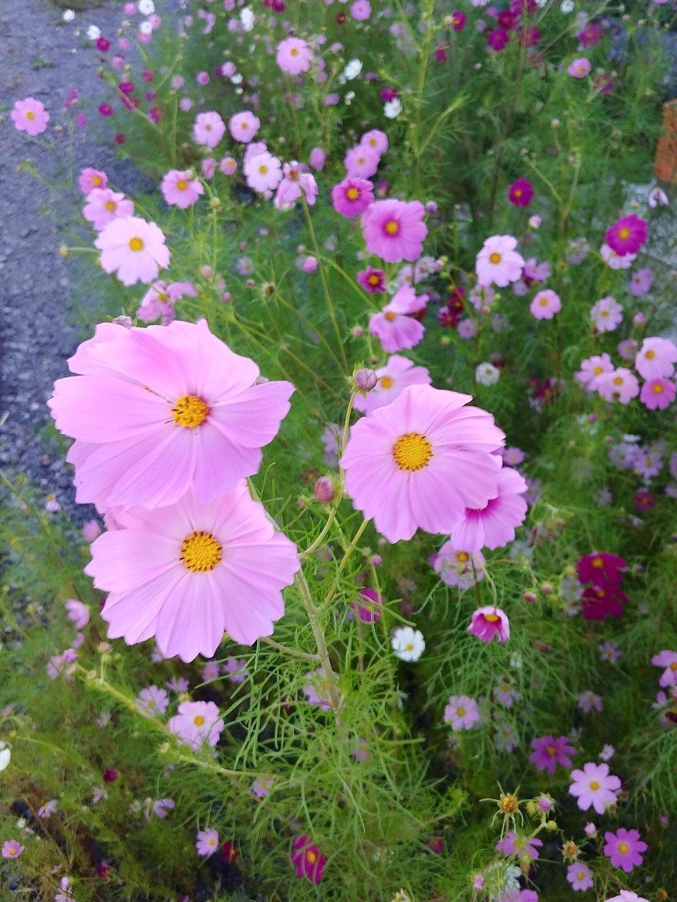 コスモスの花です