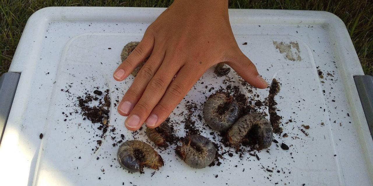 カブトムシの幼虫 大きさを確認しています