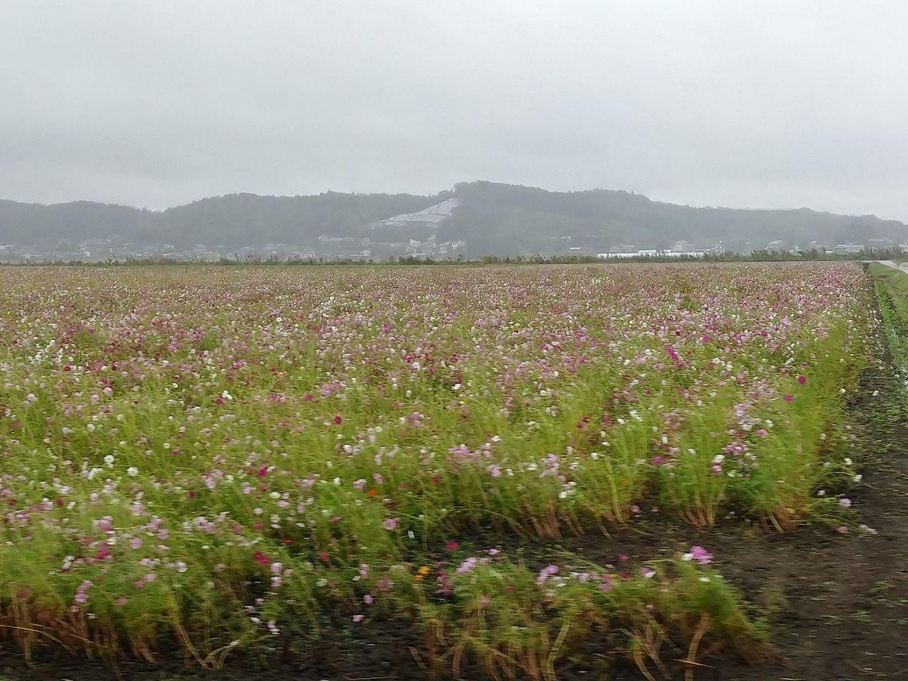 台風で倒れてしまった益子町のコスモスです