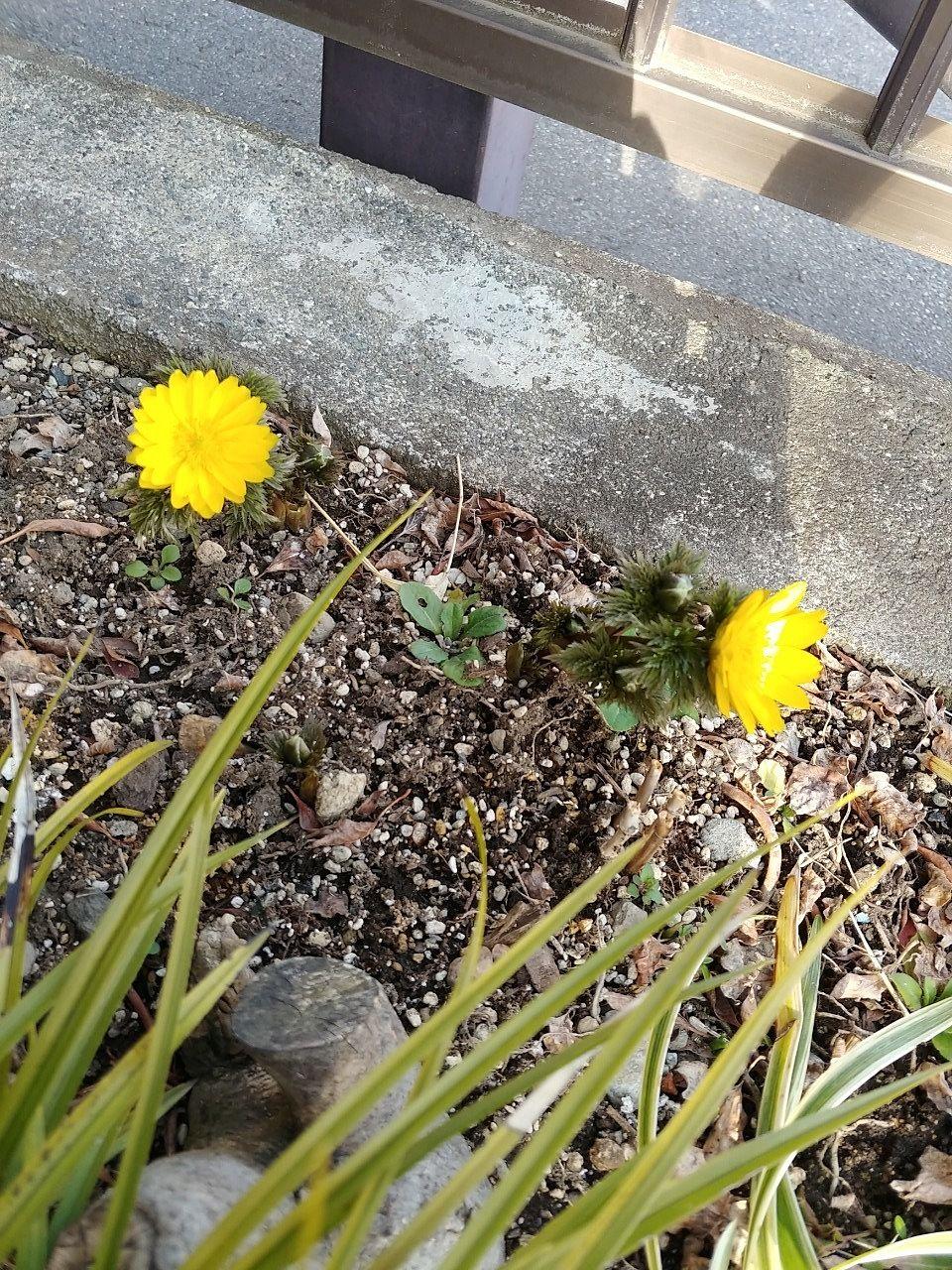 福寿草開花